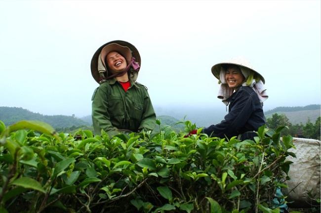 ceuillette-du-the-vert-nord-vietnam