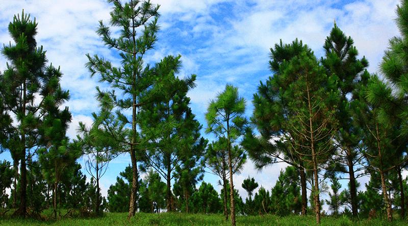 plantation des pins que voir a mondulkiri