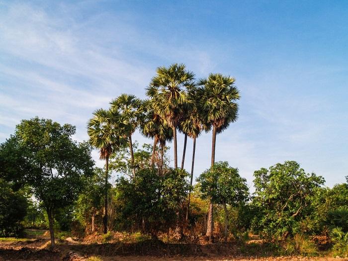 thnot le palmier a sucre artisanat cambodgien 2